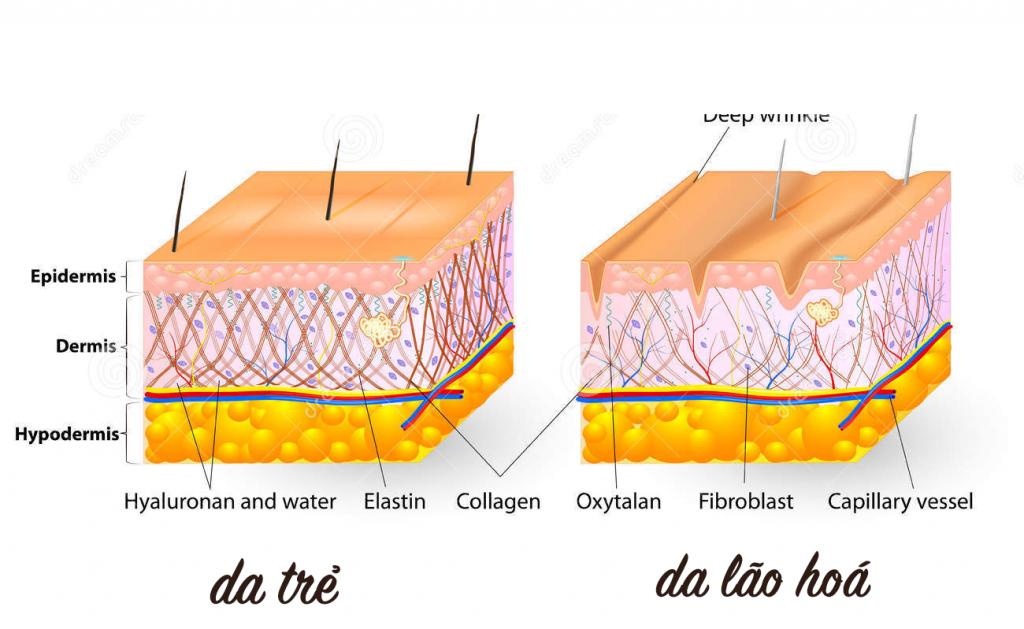 collagen va elastin